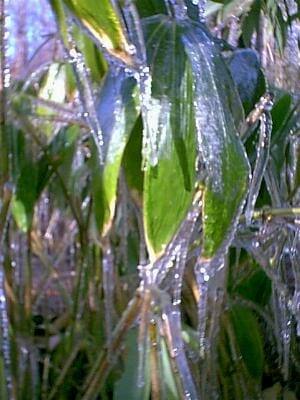 Ice shielding bamboo from wind