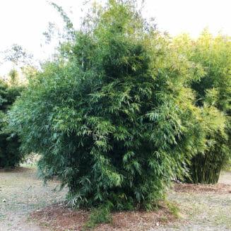 Clumping Bamboo