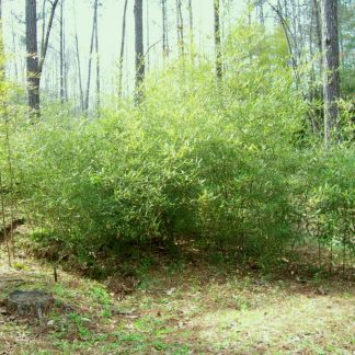 Stimulosa Bamboo