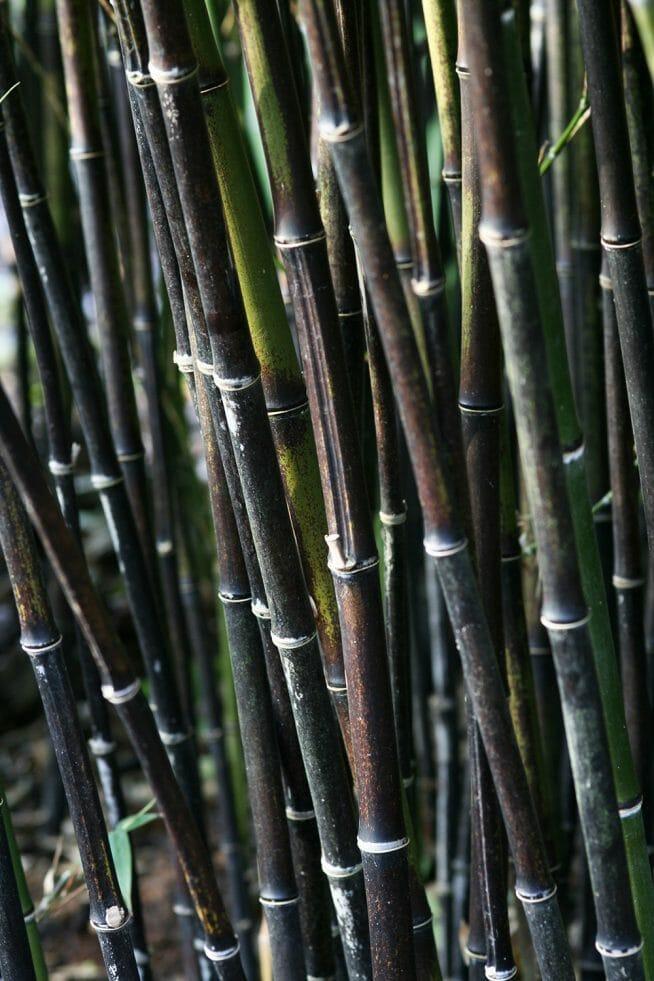 Thick Black Bamboo Culms Phyllostachys nigra