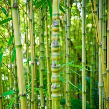 Aurea Golden Bamboo Closeup Internodes
