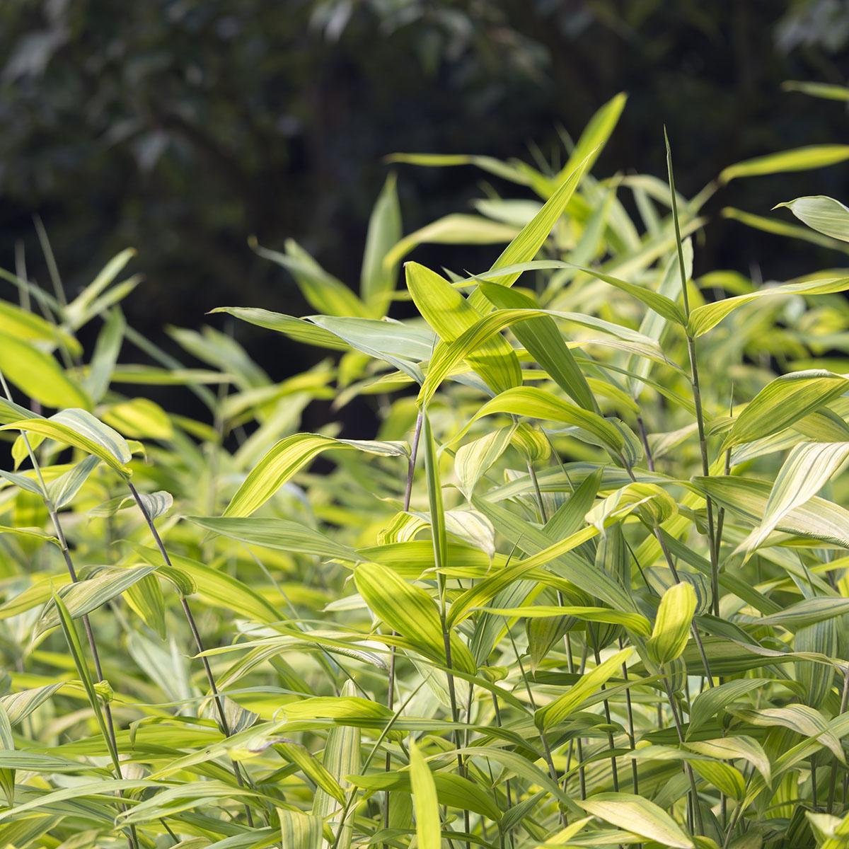Dwarf Green Stripe Lewis Bamboo
