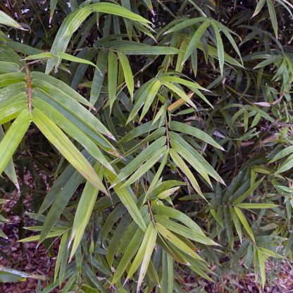 Foliage of Golden Goddess Bamboo