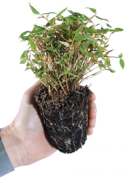 Rufa bamboo held in hand. 21-cell container