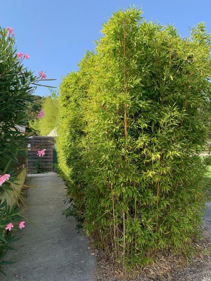 Hedge of Decora Bamboo - Trimmed/Topped