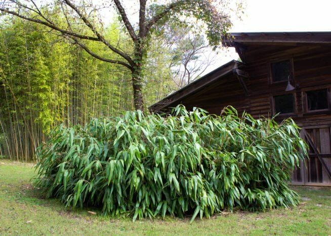 Giant Leaf Bamboo in front of barn