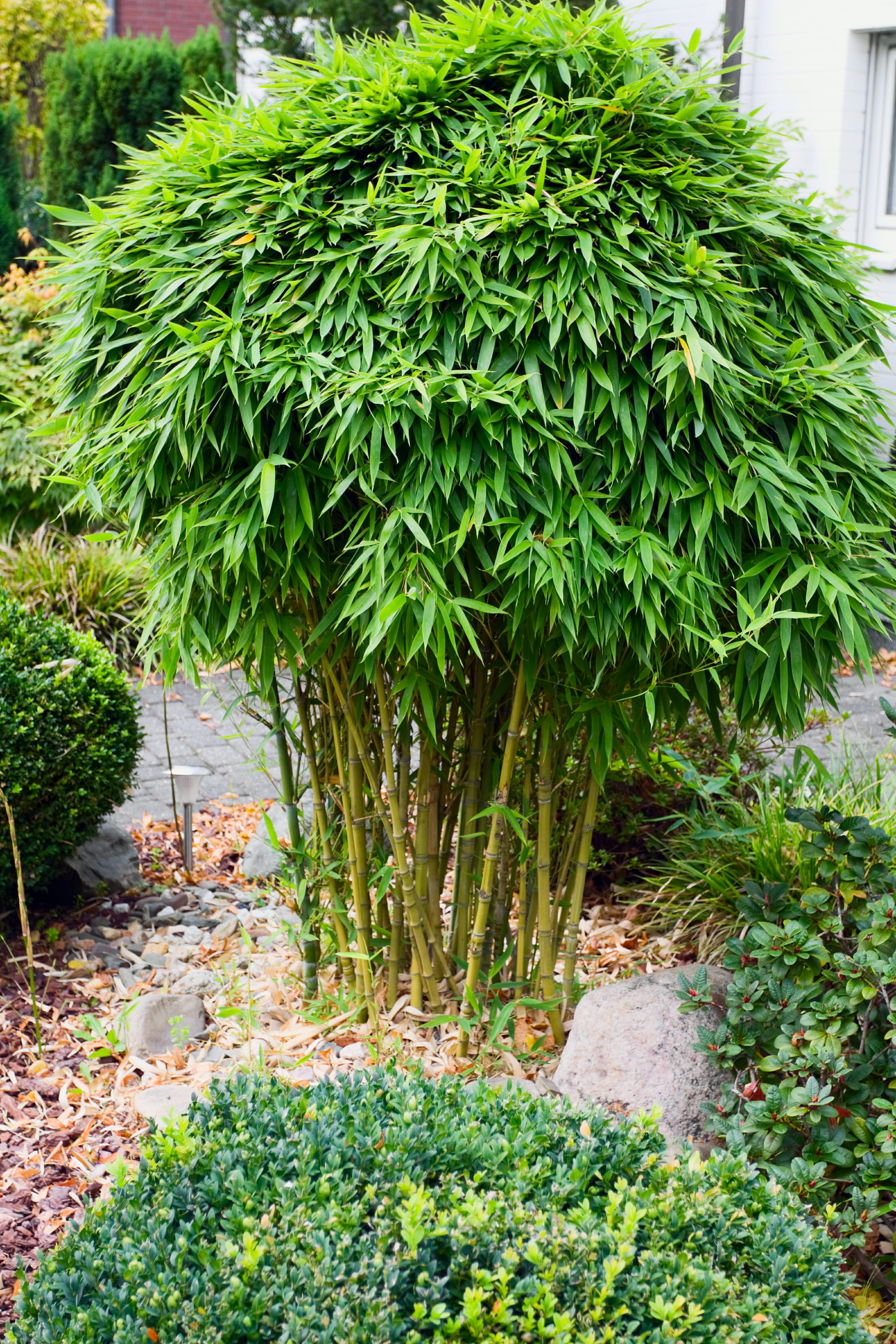 Pruning and Grooming Bamboo - Lewis Bamboo