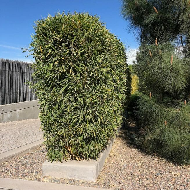 Bissetii Bamboo hedge in Argentina sideview