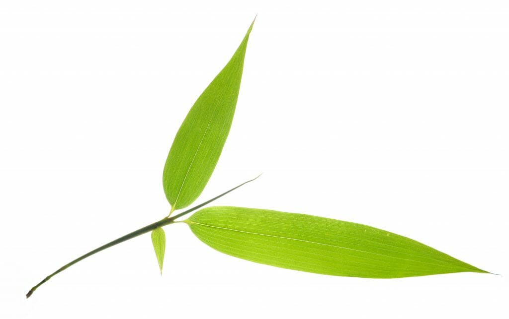 Closeup of green bamboo leaves twig,Isolated on White Background.