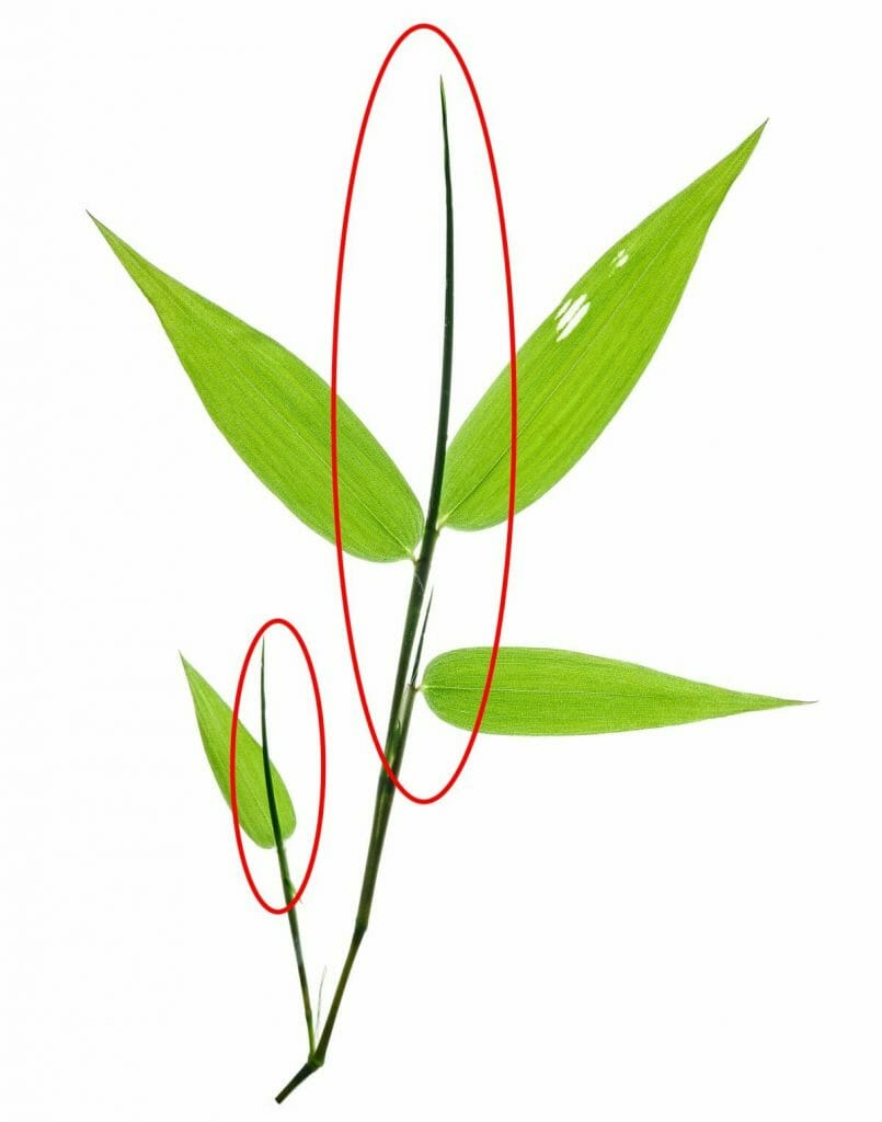 Closeup of bamboo leaves twig showing the new leaf formation