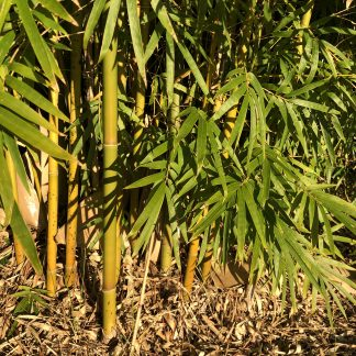 Bamboo canes and foliage