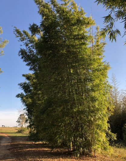 Gracilis is a very vertical bamboo